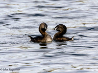 Pied-billed Grebes