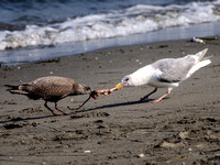 Gull with Salmon Entrails