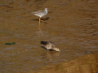Greater Yellowlegs and Female Green-winged Teal