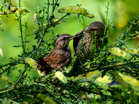Song Sparrow Feeding Brown-headed Cowbird Chick