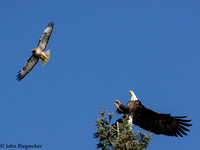 Bald Eagle & Red-tail Hawk