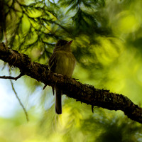 Pacific-slope Flycatchers