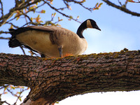 Canada Goose up a Tree