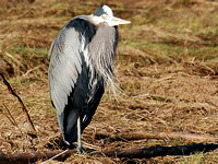 Great Blue Heron (Eyes Open)
