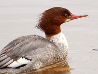 Female Common Merganser