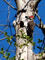 Male Pileated Woodpecker at Nest