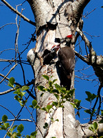 Male Pileated Woodpecker & Chicks