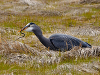 Great Blue Heron with Snake