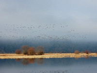 Canada Geese & 2 Snow Geese