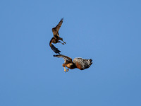 Harrier & Red-shouldered Hawk