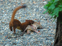 Long-tailed Weasel With Rat It Just Killed