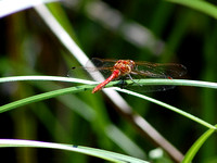 White-faced Meadowhawk Dragonfly