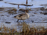 Nothern Pintail With Odd Plumage
