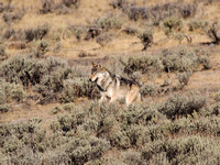 Canyon Pack Wolf