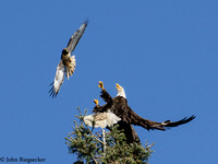 EagleAndRed-tail Hawk