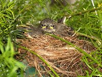 Dark-eyed Junco chicks
